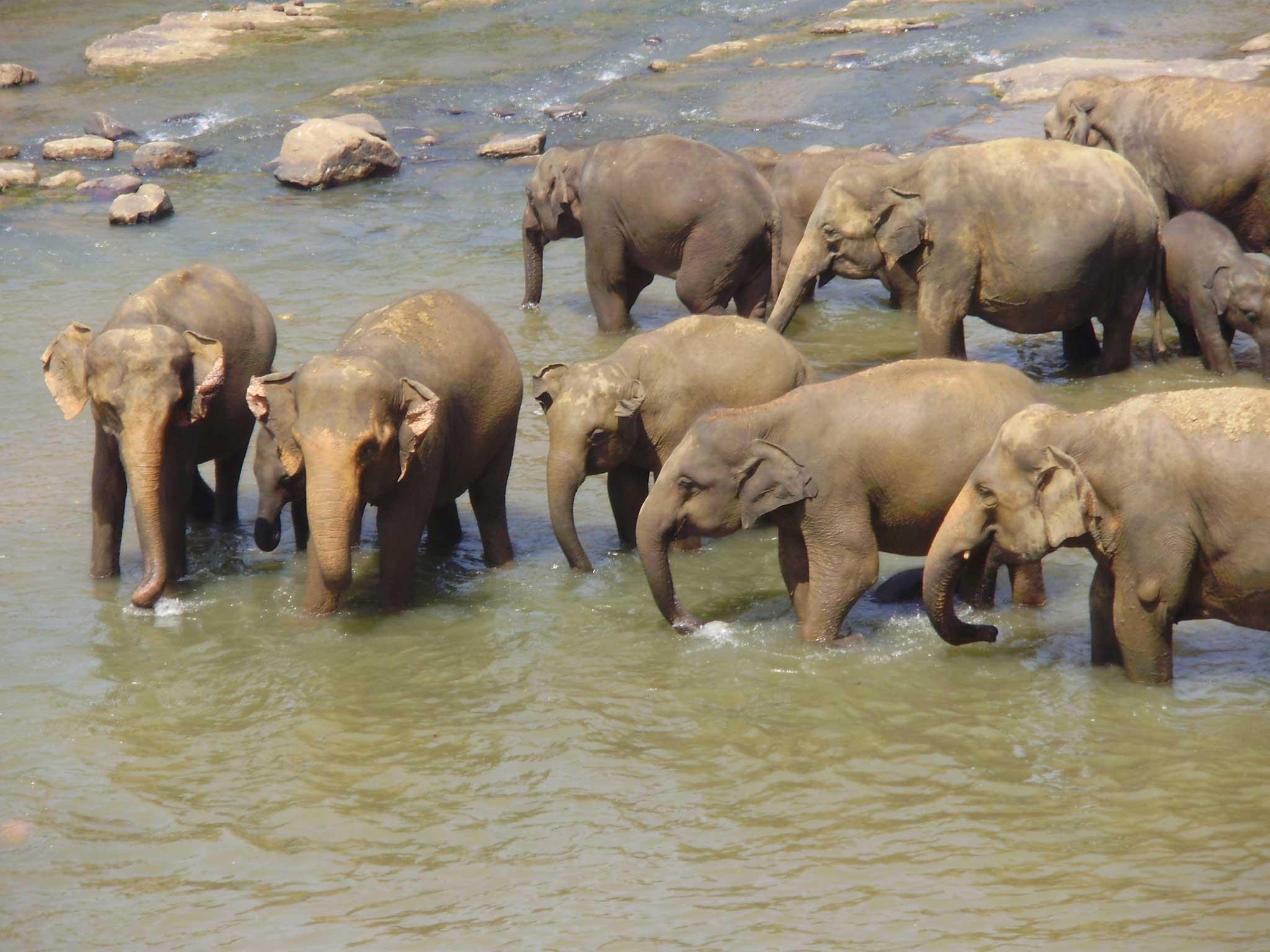 Elephants in Water Drinking