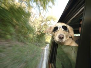 image of happy dog sticking head out window of fast moving car, catching some wind and fresh air.
